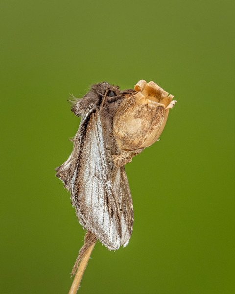 Lesser Swallow prominent 13.8.20