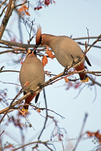 Sweet Moment ~ This pair of Bohemian Waxwings was observed sharing the berries in this tree.  He would pick off a berry and feed it to her.  They were two of several hundred birds spotted this week in March in Edmonton, Alberta, Canada.