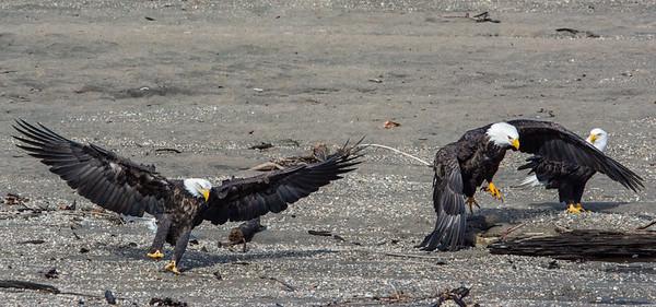 JW2_6018_wildlife-bald-eagles