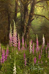 Rainforest of Washington State