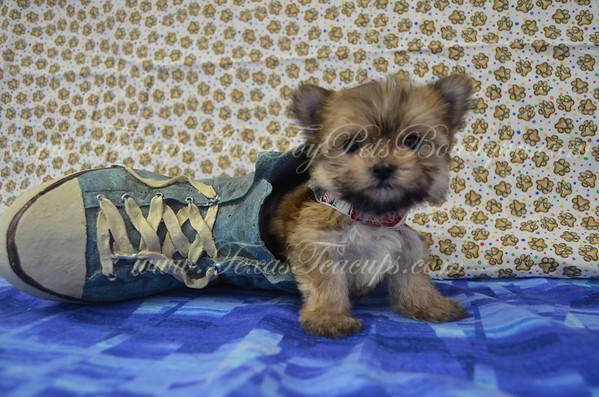 Male Morkie Puppy # 3132