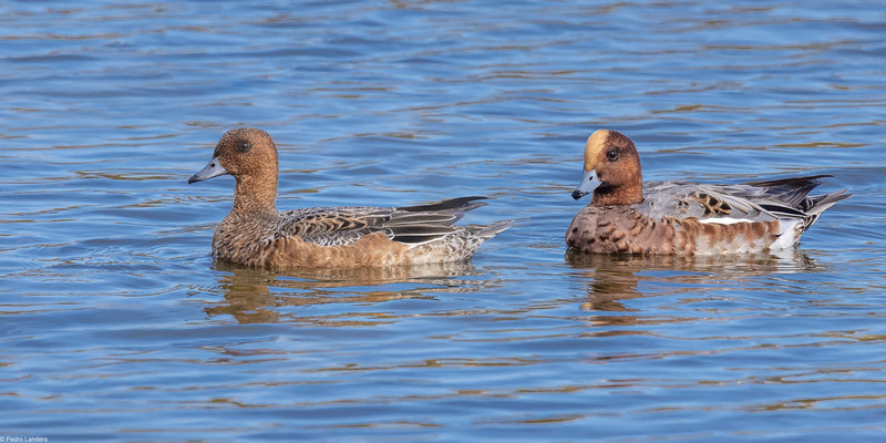 A Pair of Wigeon