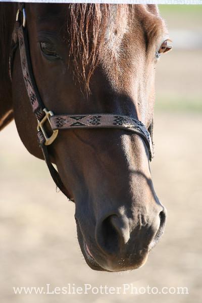 Closeup of Morgan Horse in Nylon Halter