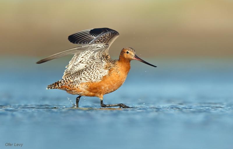 Bar-tailed Godwit 9.jpg