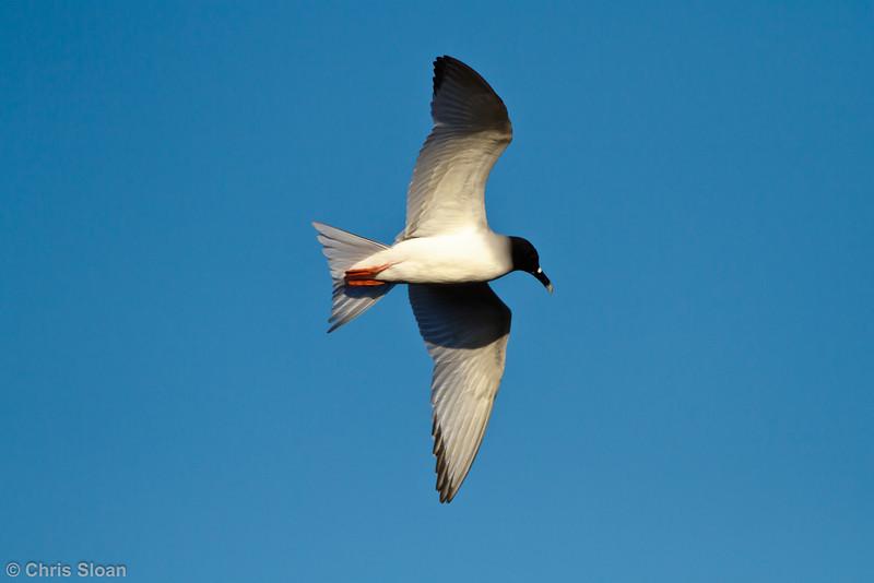 Swallow-tailed Gull adult at Darwin Bay, Genovesa, Galapagos, Ecuador (11-25-2011) - 580.jpg