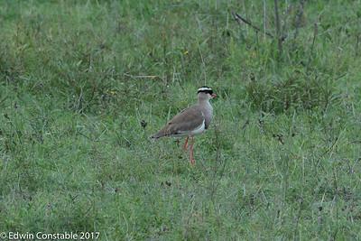 Vanellus coronatus, Crowned lapwing, Crowned plover,