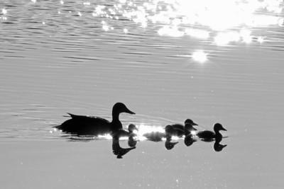 2018 Baby Ducks