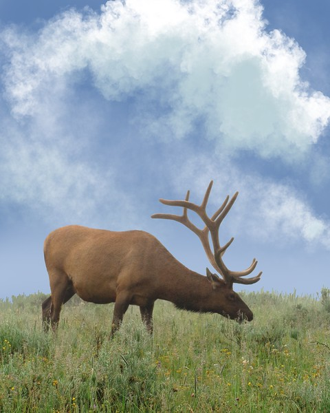 Elk grazing in Yellowstone