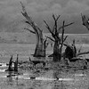 Trunks of dead trees in a lake in Ranthambhore national park