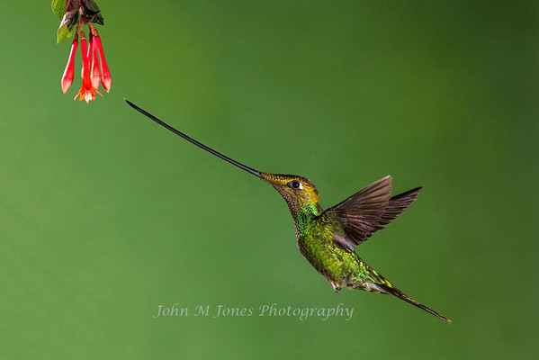 Hummingbirds of Ecuador - 2012