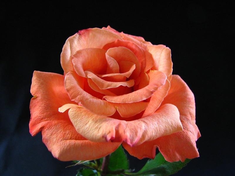 Rose 2683.jpg