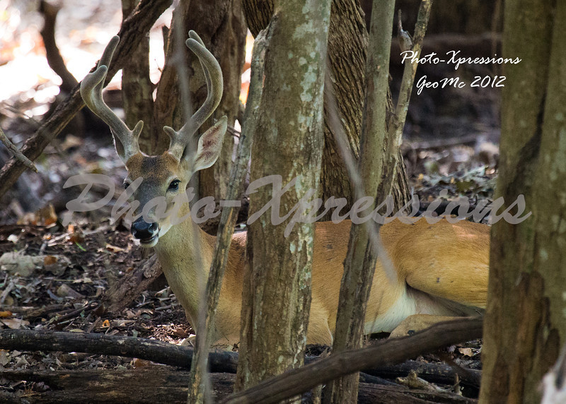 buck deer in velvet-2903.jpg