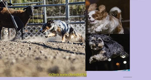 Dogs! Agility & Herding
