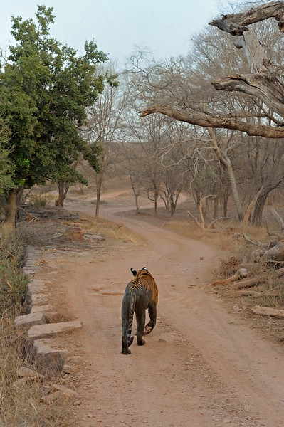 Tiger in the dry deciduous habitat of Ranthanbhore tiger reserve