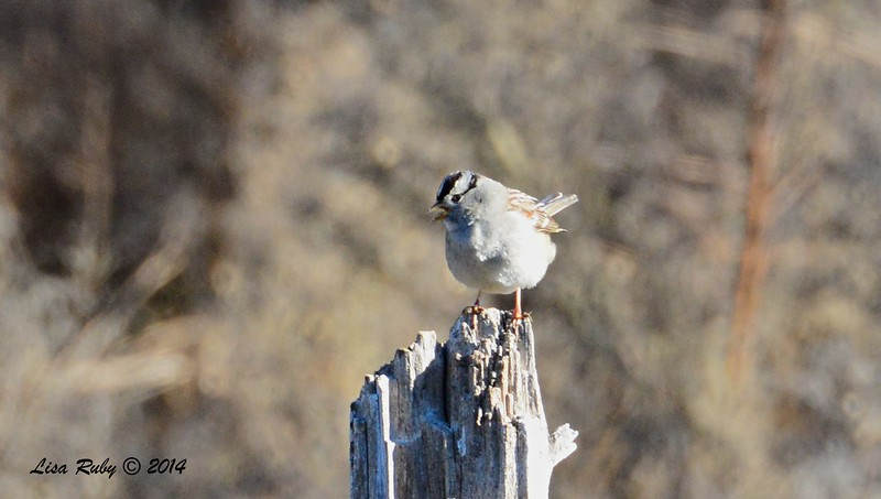 White-crowned Sparrow 1/2/2015 - Lake Hodges, southeast trail (south of footbridge)