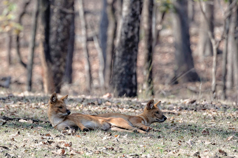 Indian wild dogs, resting in the shade.