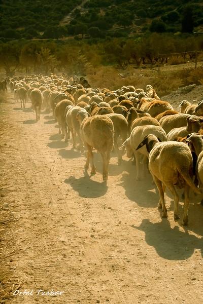 עדר עיזים מאחור.jpg
