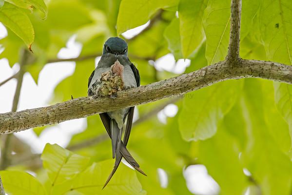 TreeSwifts (1 Species)