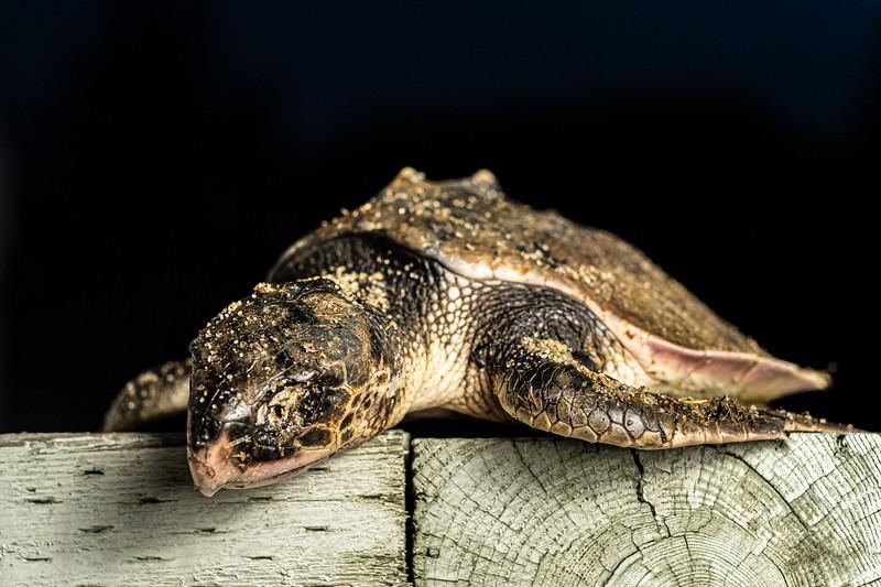 rescued Kemp's Ridley sea turtle.jpg