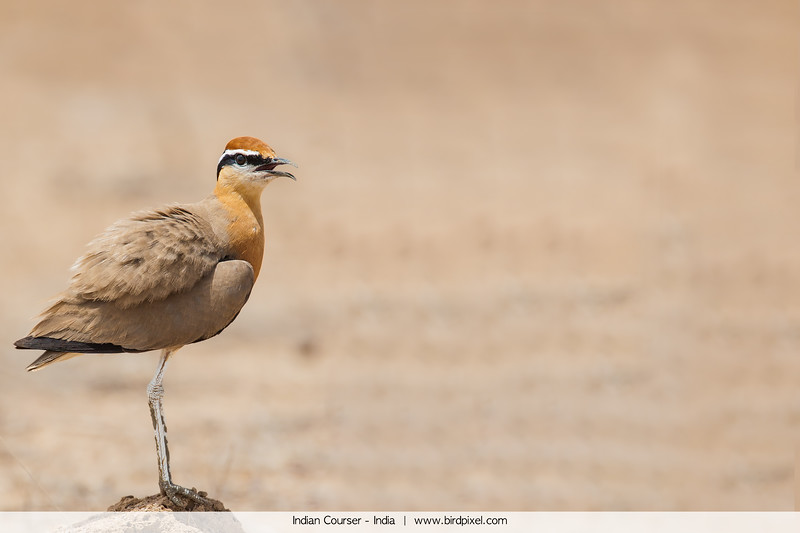 Indian Courser - India