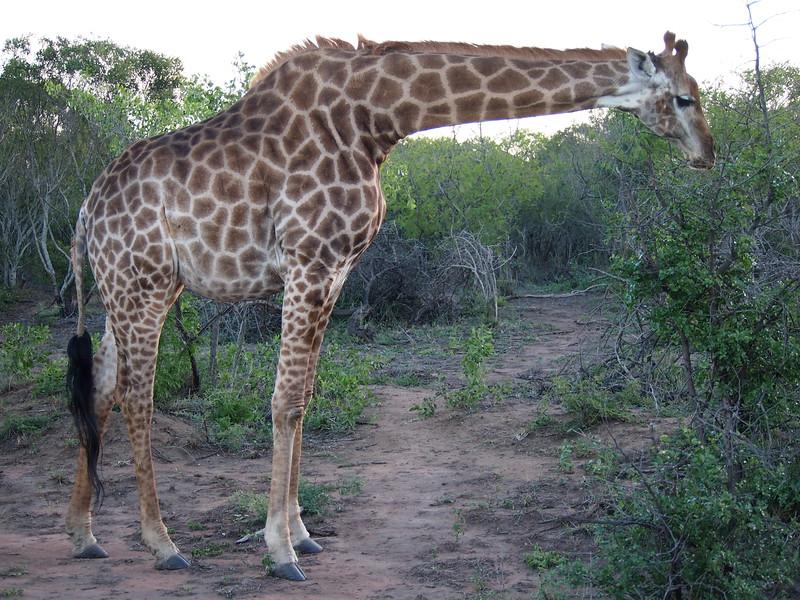 P5046300-hunched-giraffe.JPG
