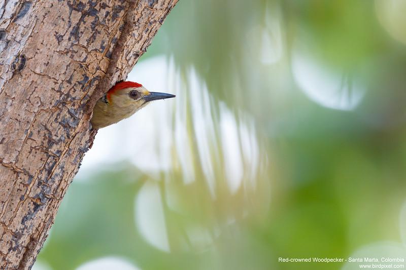 Red-crowned Woodpecker - Santa Marta, Colombia