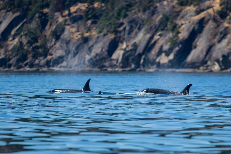 Orcas -  073115-175.jpg
