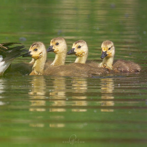 sm goslings_M4D5659.jpg