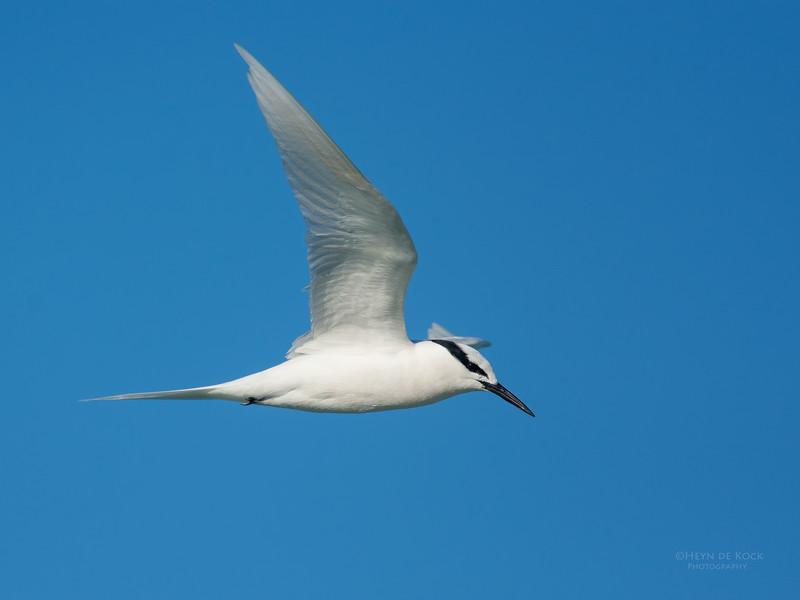 Black-naped Tern, Lady Elliot Island, QLD, Dec 2015-19.jpg