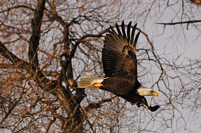 Klamath Falls Eagles +