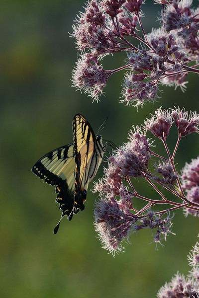 Tiger Swallowtail on Joe-Pye