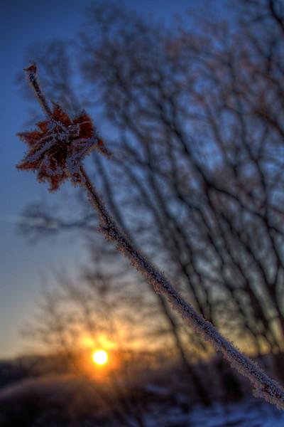 Like A Frozen Rose