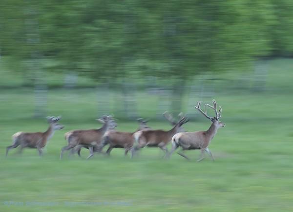 Edelhert; Cervus elaphus; Hirsch; Cerf; Red deer