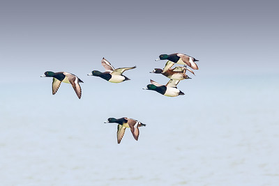 """Greater Scaup or """"Bluebill"""""""