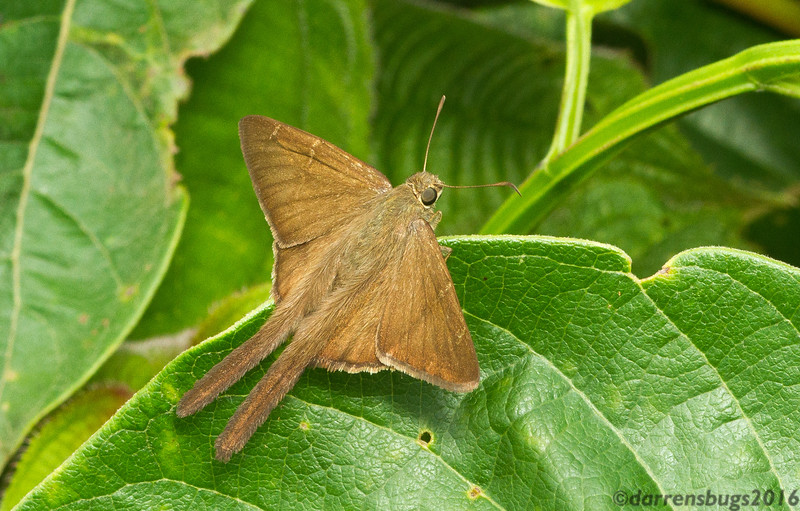 Skipper butterfly (Hesperiidae: Urbanus sp.) from Panama.