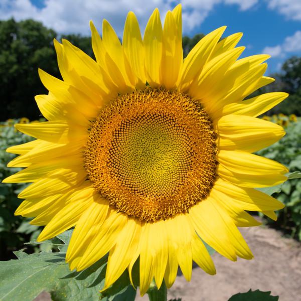 Sunflower Fields-6.jpg