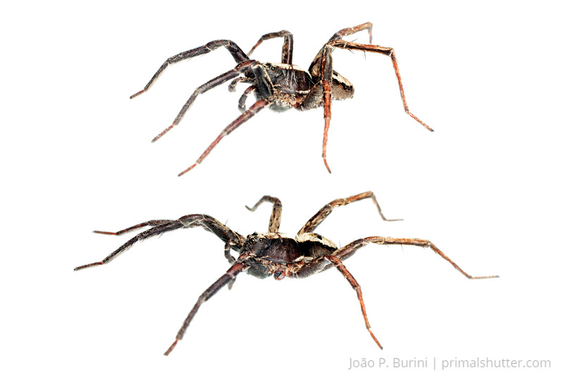 Wolf spider (Schizocosa sp) Piedade, SP, Brazil June 2013 Atlantic forest