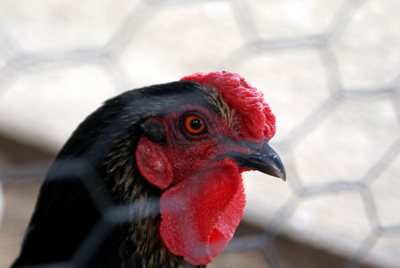 Red Eye Rooster: No amount of Visine is going to help this guy...