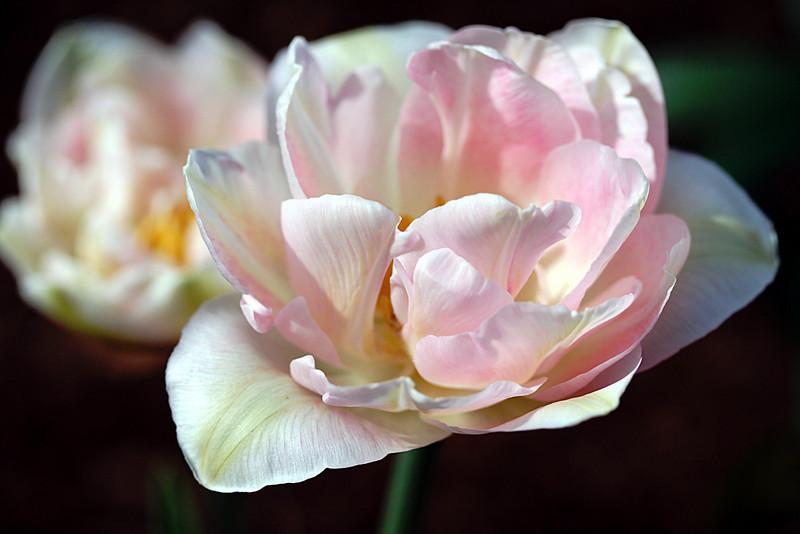 Angelique Double pink tulip from my garden