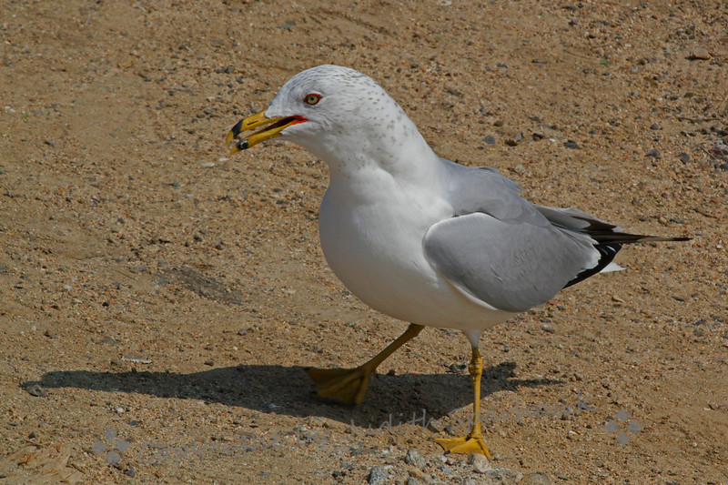 Ring-billed Gull ~ This gull was photographed at Bolsa Chica Ecological Reserve in Orange County, California.