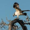 Osprey with dinner