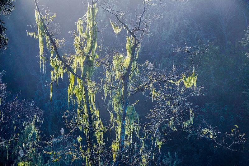 Foggy_Oak_Trees_California_Central_Coast_MG_2089.jpg
