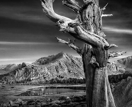 Foxtail Pine Southern Sierra