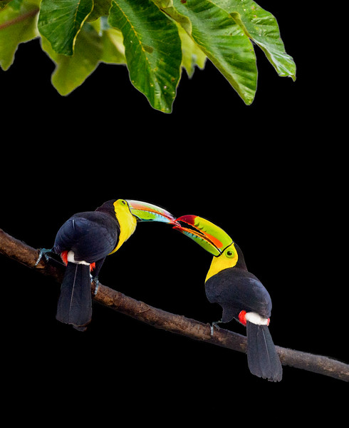 Keel-billed toucans feeding each other