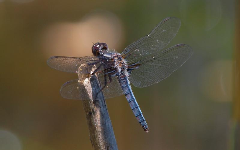 Blue Corporal, male