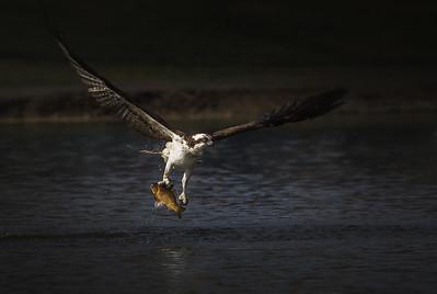 Osprey and Carp
