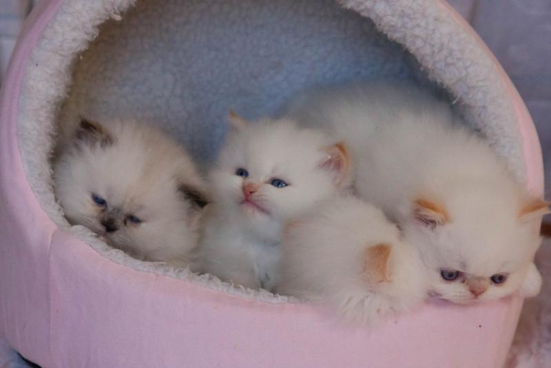 Himi_Kittens_Nov30-8214.jpg
