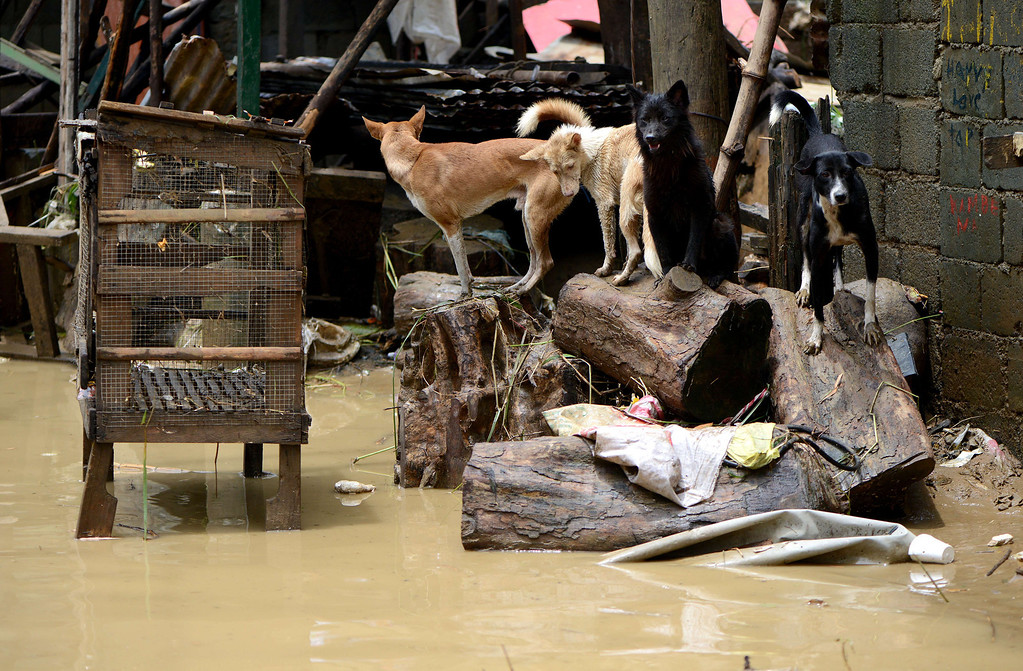 . Pet dogs stay on higher ground to avoid the flood in a street in San Mateo, Rizal, east of Manila on August 22, 2013.  Disaster-weary Philippine residents mopped up on August 22 after four days of torrential rain that officials said had killed 17 people and forced more than half a million from flooded homes. NOEL CELIS/AFP/Getty Images