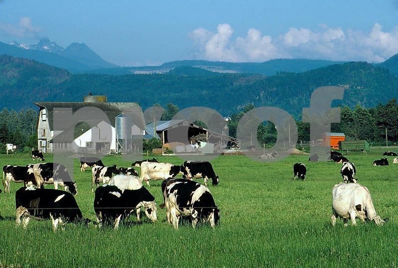 Dairy cows 1.01.010a.jpg