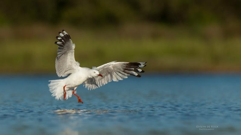 Silver Gull, Lake Wollumboola, NSW, Jan 2015-2.jpg